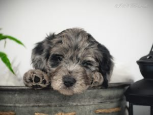 A blue merle female Bordoodle puppy with her adorable paw showing.