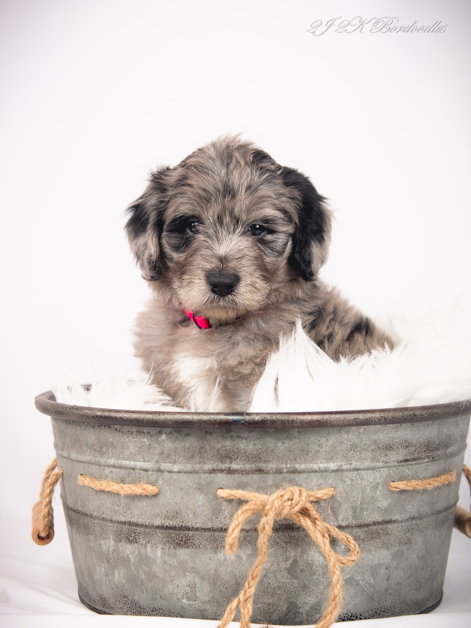 A blue merle Bordoodle puppy for sale near me.