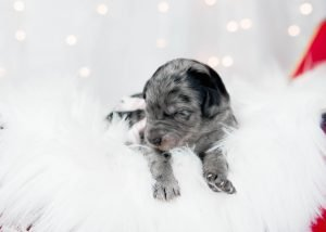 A blue merle bordoodle puppy for sale.