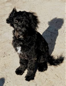 A beautiful Bordoodle puppy for sale.