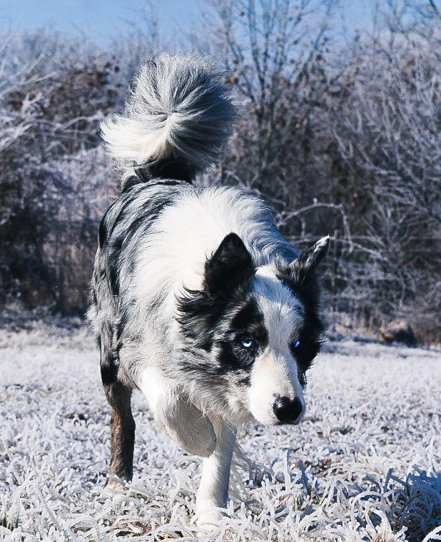 A blue merle Border Collie at the 2J 2K Ranch