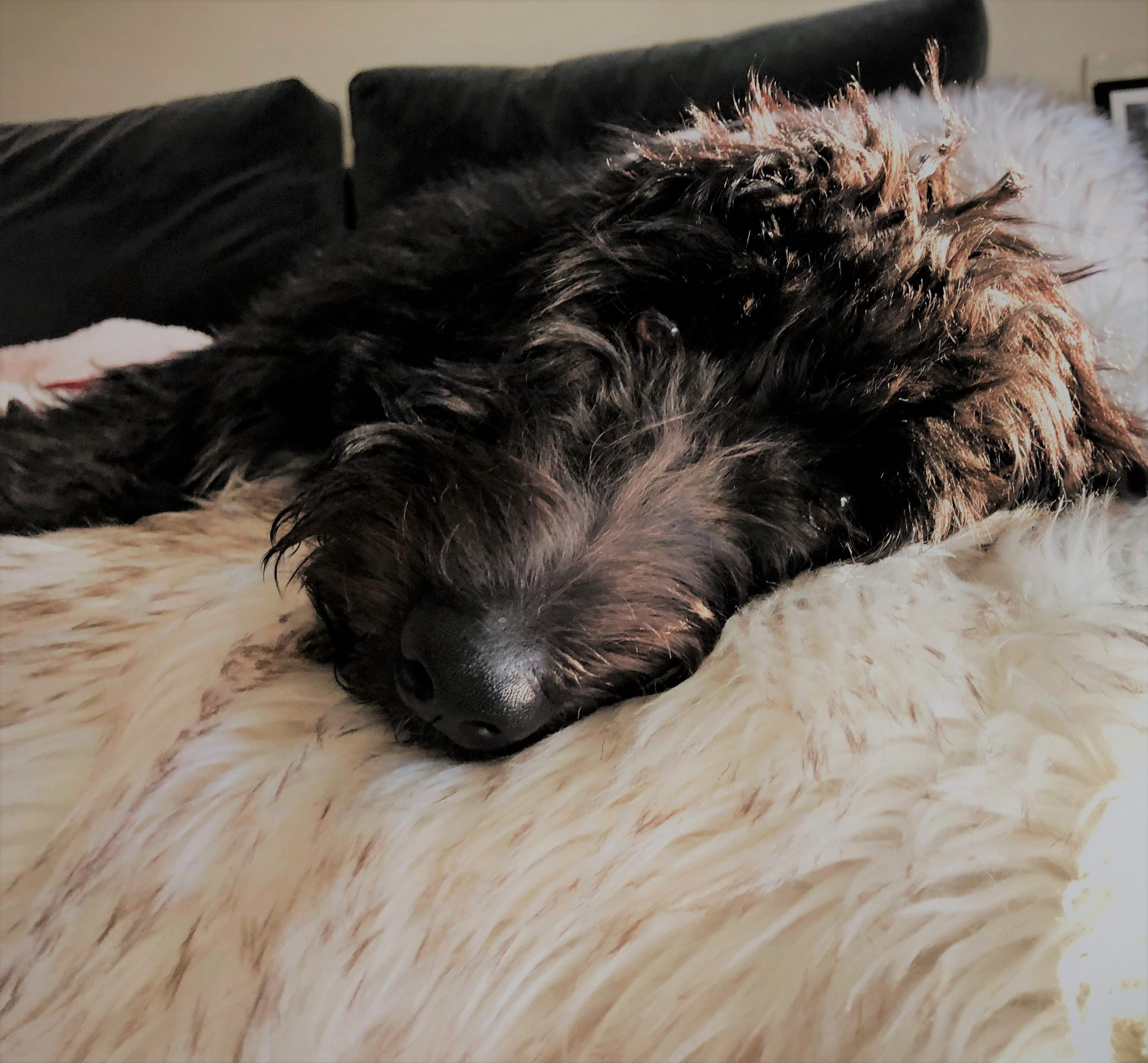 A precious Bordoodle puppy laying on the bed.