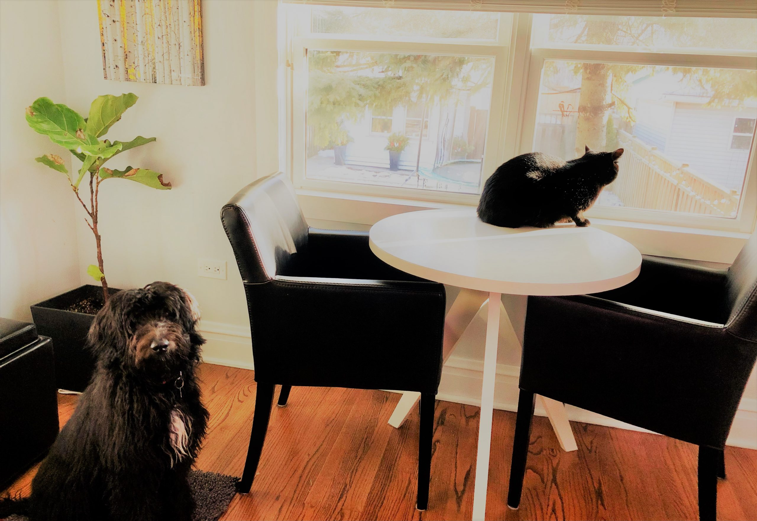 A black and white Bordoodle puppy watching a cat on a table.
