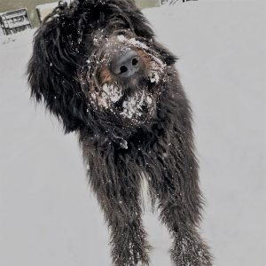 A Bordoodle puppy in the snow.