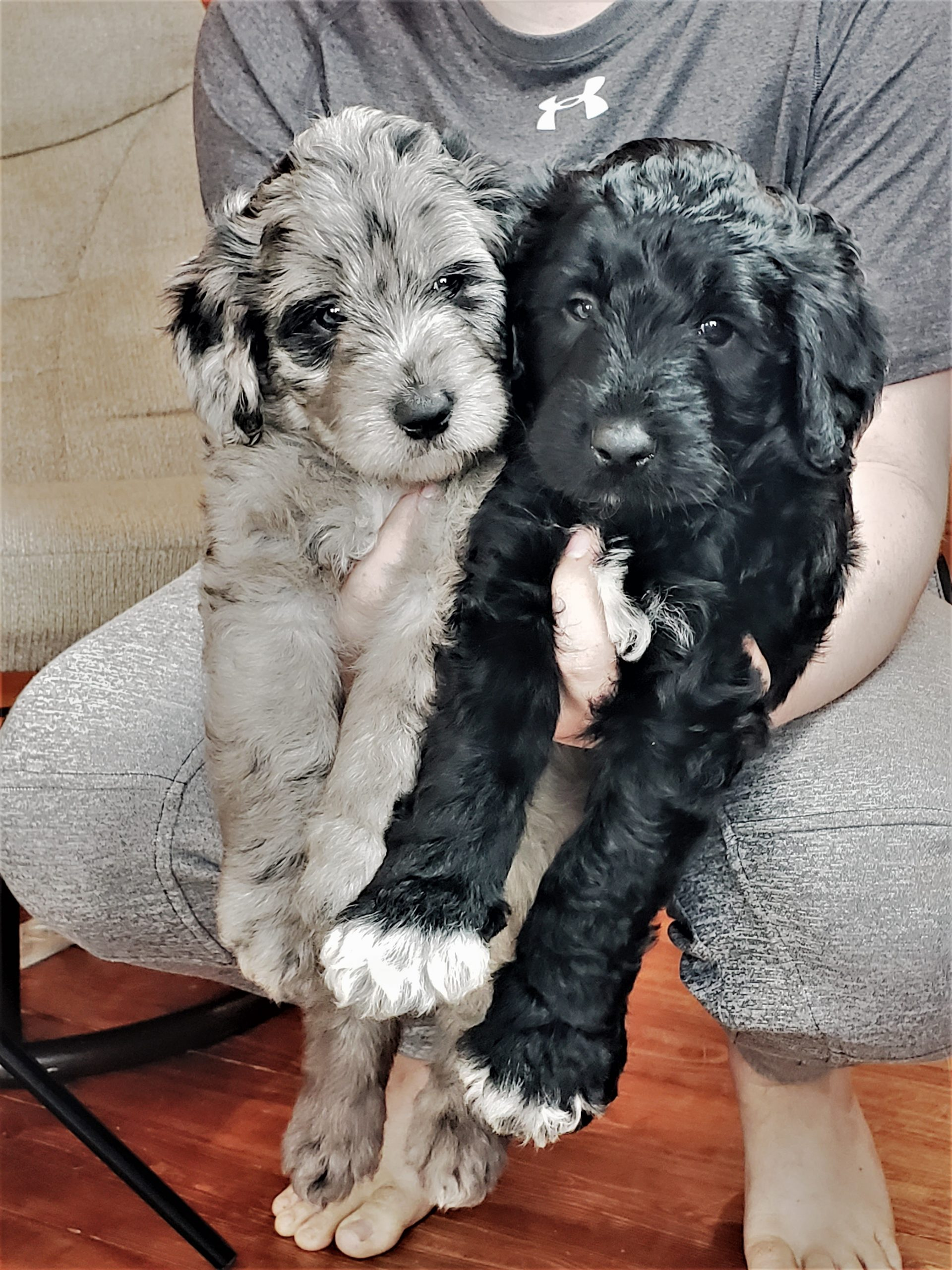 A blue merle and a black and white Bordoodle puppy.