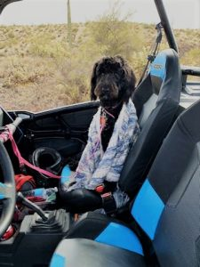 A bordodle puppy riding in a RZR in the Arizona desert.