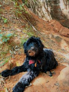 A bordoodle puppy hiking in Sedona, AZ.