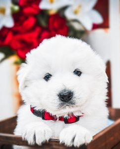 A Maremma Sheepdog puppy with a red collar for sale in Florida.