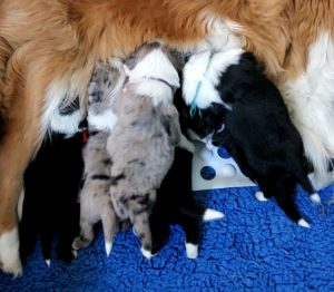 Blue merle and black and white Border Collie puppies nursing from their gold and white dam.