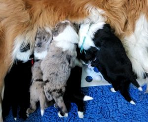 Border Collie puppies all lined up in a row nursing from their mother.