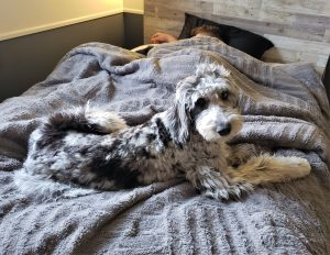 A blue merle Bordoodle puppy laying on a grey bedspread.