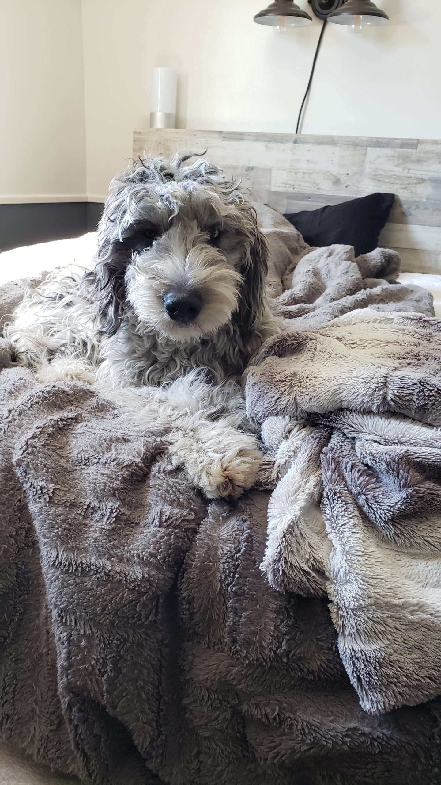 A blue merle Bordoodle for sale and laying on a bed with a grey blanket.