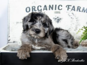 A Bordoodle puppy for sale. He is posing in a black and white piano bench.