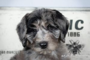 A blue merle Bordoodle puppy for sale. His head is tilted so cute.