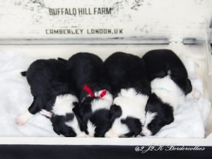Black and white border collie puppies sleeping in a row.