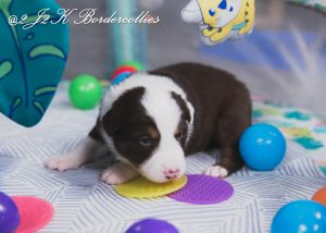 A red and white tri-colored border collie puppy playing in the nursery.