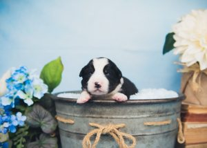 Thumper is the sweetest black and white tri border collie puppy.