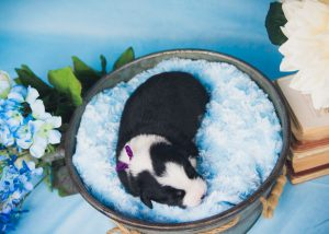 A top view of a black and white border collie puppy.
