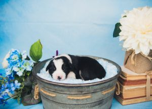 Sweet black and white tri colored border collie puppy.