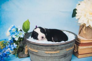 A sleeping black and white male border collie puppy for sale.