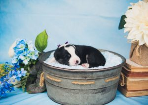 Thumper is a black and white border collie puppy for sale.
