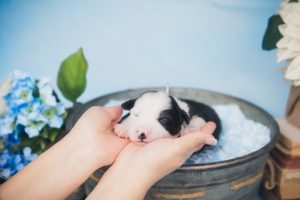 A black and white, tri-colored, split face, border collie puppy for sale.
