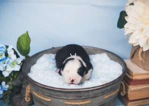 Springer is such a sweet and handsome black and white tri colored split face border collie male puppy.
