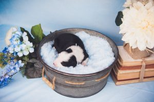 Springer is a black and white split face male border collie puppy.