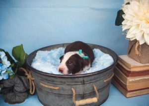 Wren is a red and white border collie puppy for sale in Florida.