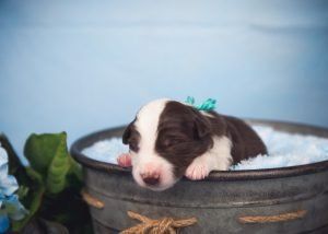 Sweetest little red and white border collie puppy for sale.