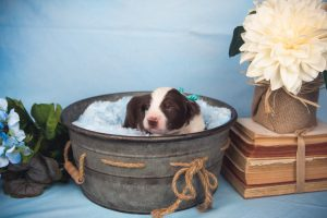 Wren is a sweet red and white male border collie puppy.