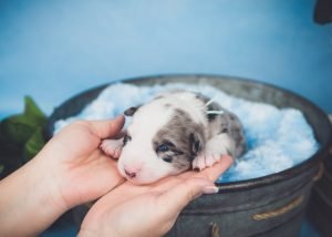 A blue merle border collie puppy just starting to open his eyes.