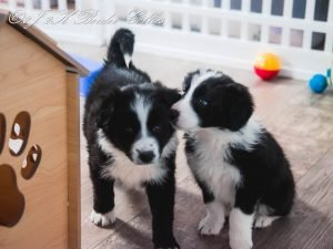 Two black and white border collie telling secrets.