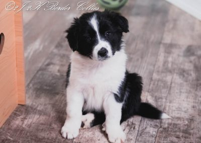 A sweet border collie puppy for sale smiling at the camera.