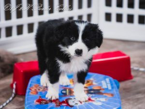 A border collie puppy playing on a skateboard.