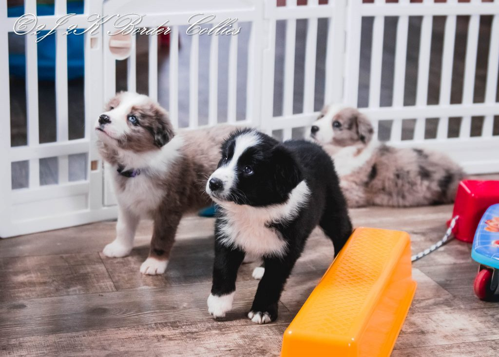 A black and white and blue merle border collie puppy playing with their toys.
