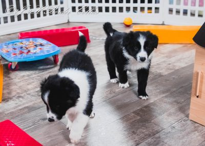 Happy border collie puppies for sale playing in the puppy classroom.
