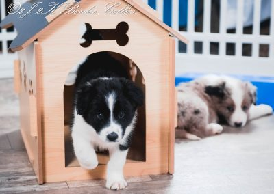 A black and white border collie puppy stepping out of her dog house.