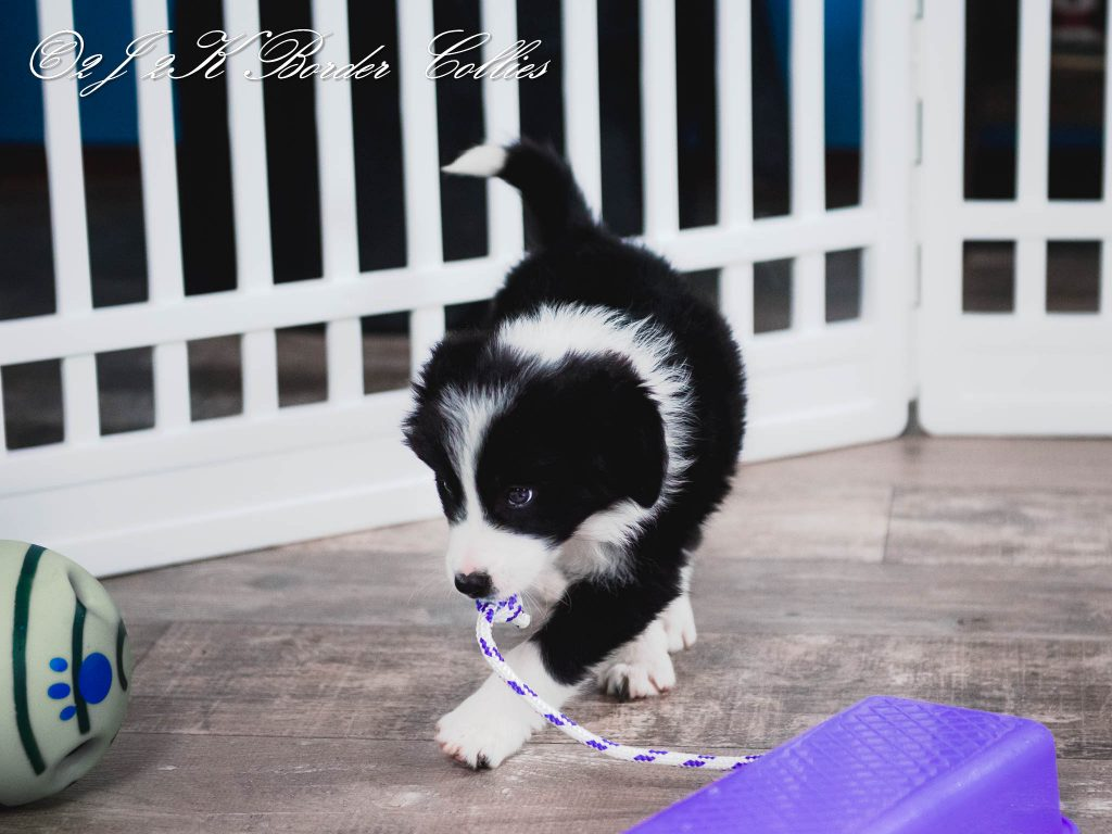 A playful black and white border collie puppy.