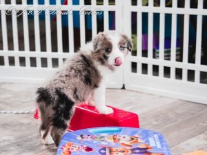 A blue merle border collie puppy for sale sticking out her tongue.