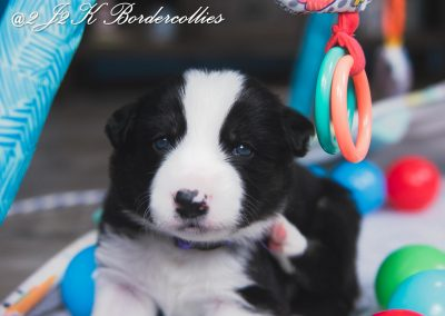A black and white tri-colored border collie playing with his toys.