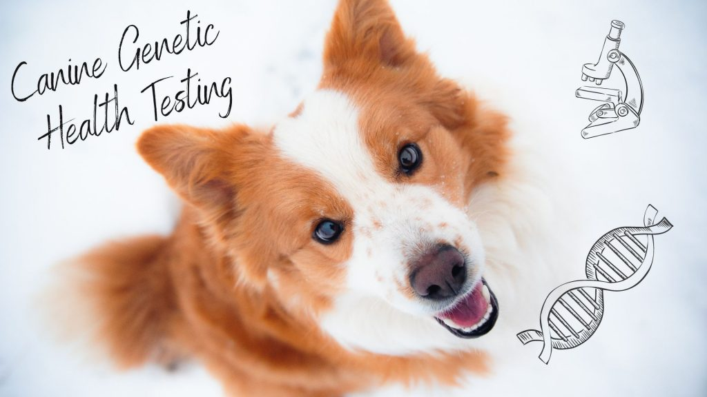 Border Collie Puppies for sale in Florida