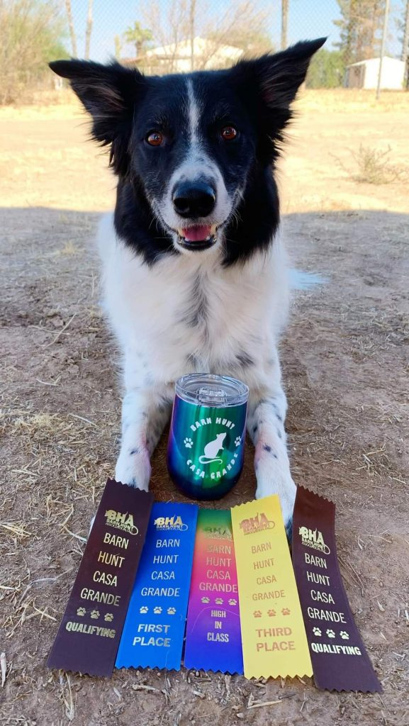 2J 2K Border Collie puppies for sale. Champion Border Collies winning ribbons.