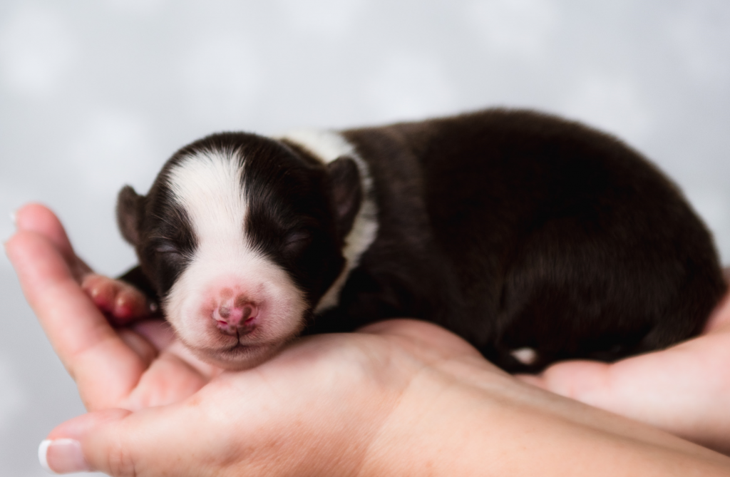 A sleeping red and white border collie puppy in Florida.