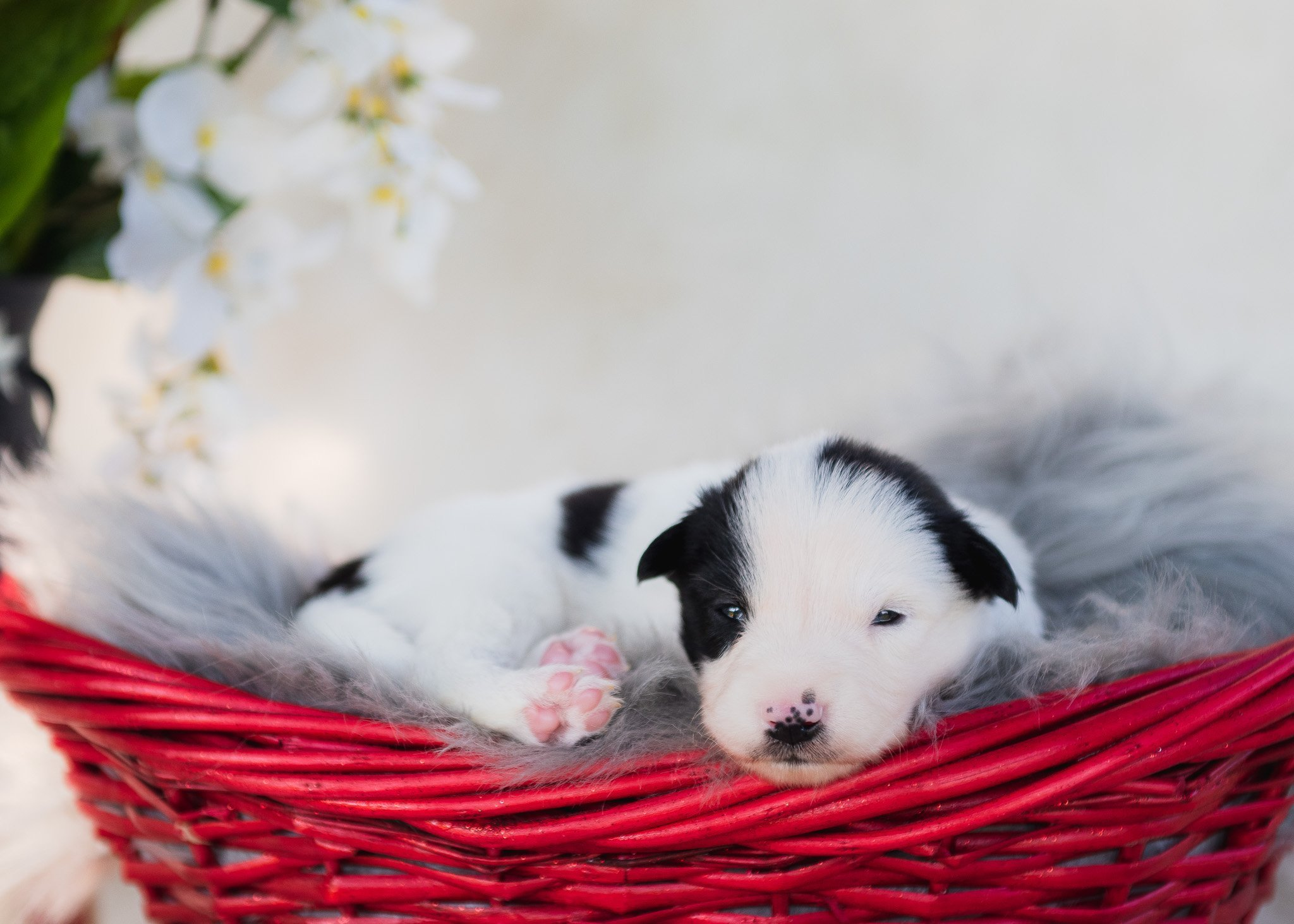 Black and white border collie puppy for sale laying in a red basket with pink toes.