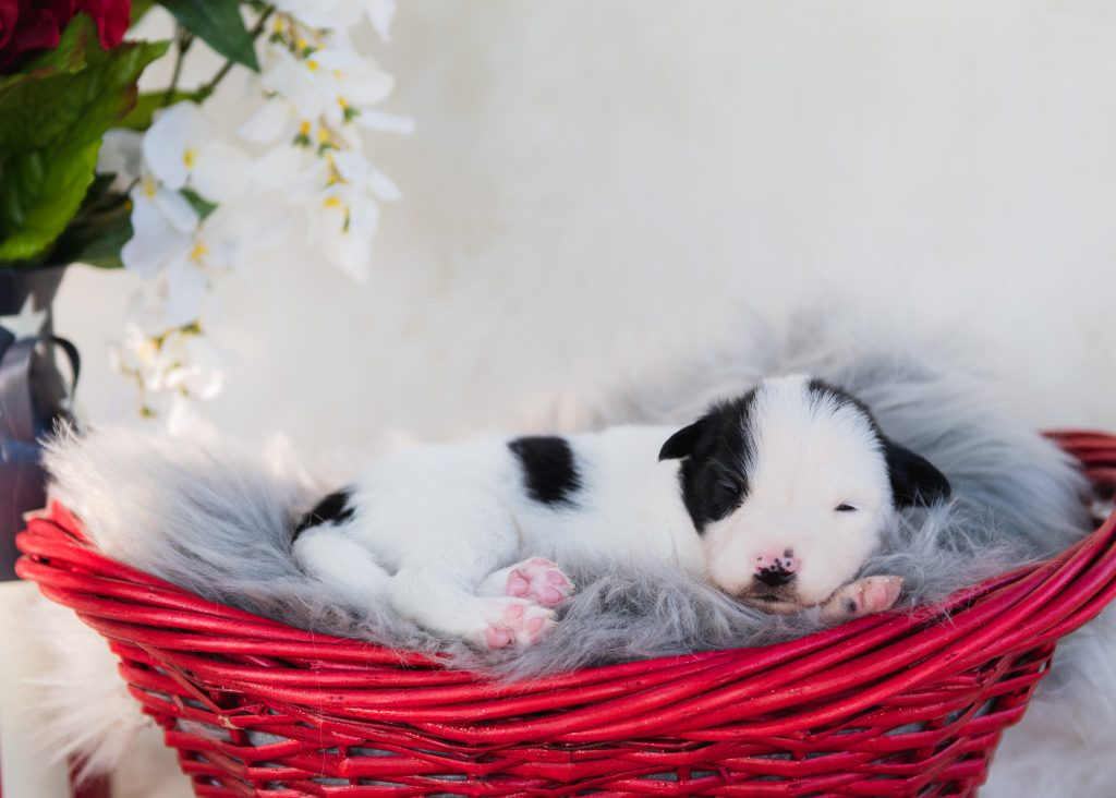 Black and white male border collie puppy for sale.