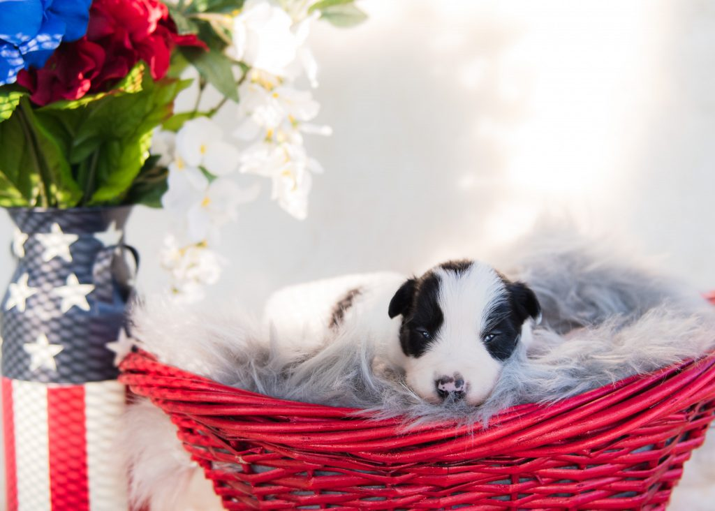 A little black and white border collie puppy with a patriotic display