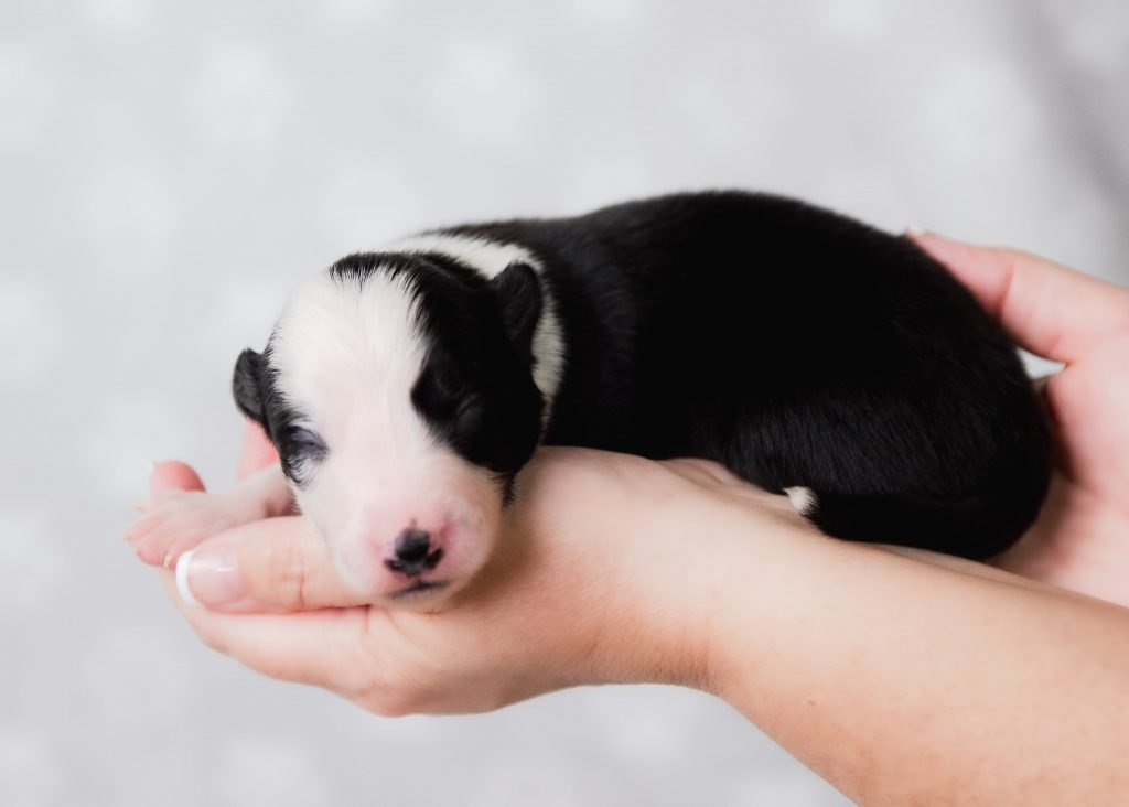 A precious black and white border collie puppy for sale in New York.
