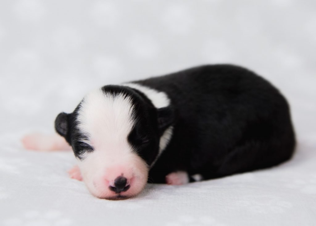 Sweet, sleeping black and white border collie puppy for sale.