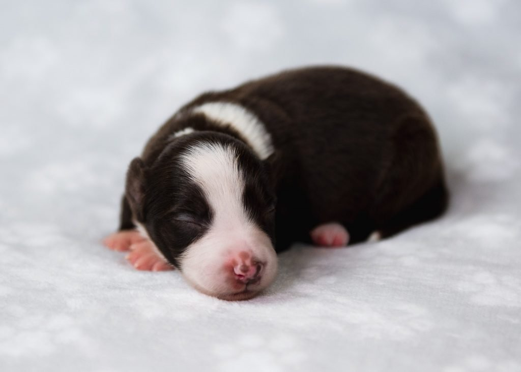 An adorable red and white sleeping border collie puppy.